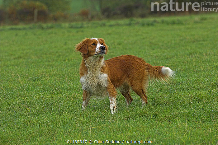 Welsh Springer cross Collie in grass field, UK  ,  CROSSBREED,DOGS,EUROPE,MONGREL,MUTT,OUTDOORS,PETS,UK,VERTEBRATES,United Kingdom,British,Canids  ,  Colin Seddon