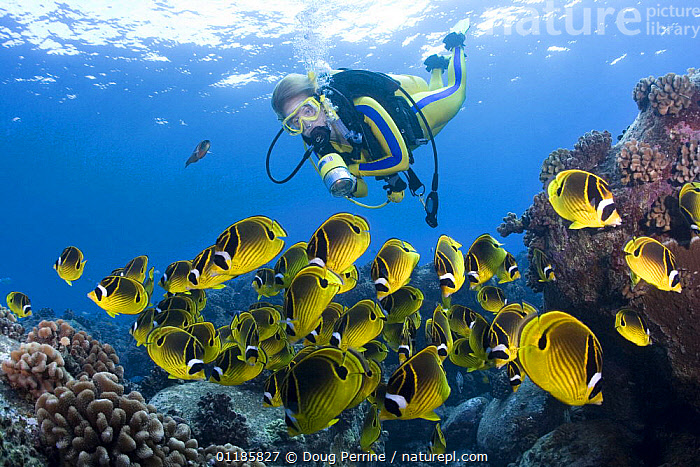Scuba diver views shoal of Racoon butterflyfish (Chaetodon lunula) Kaiwi Point, Kona, Hawaii, Pacific (MR 356)  ,  BUTTERFLYFISH,COLOURFUL,DIVING,FISH,GROUPS,MARINE,OCEAN,OSTEICHTHYES,PACIFIC,PEOPLE,TROPICAL,UNDERWATER,VERTEBRATES,YELLOW,USA,North America  ,  Doug Perrine