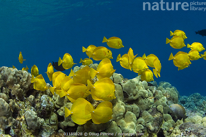 School of Yellow tang (Zebrasoma flavescens) feeding on algae growing on coral reef, Kealekekua Bay, Kona, Hawaii, Central Pacific Ocean  ,  BEHAVIOUR,COLOURFUL,CORAL REEFS,FISH,GROUPS,MARINE,OCEAN,OSTEICHTHYES,PACIFIC,SURGEONFISH,TROPICAL,UNDERWATER,VERTEBRATES,YELLOW,USA,North America  ,  Doug Perrine
