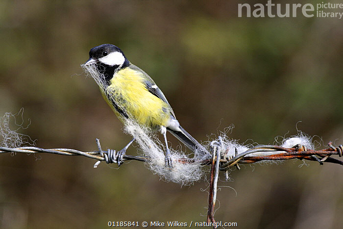 Great tit {Parus major} collecting sheeps wool off barbed wire, UK  ,  BEHAVIOUR,BIRDS,EUROPE,NESTING BEHAVIOUR,TITS,UK,VERTEBRATES,United Kingdom,Reproduction,British  ,  Mike Wilkes