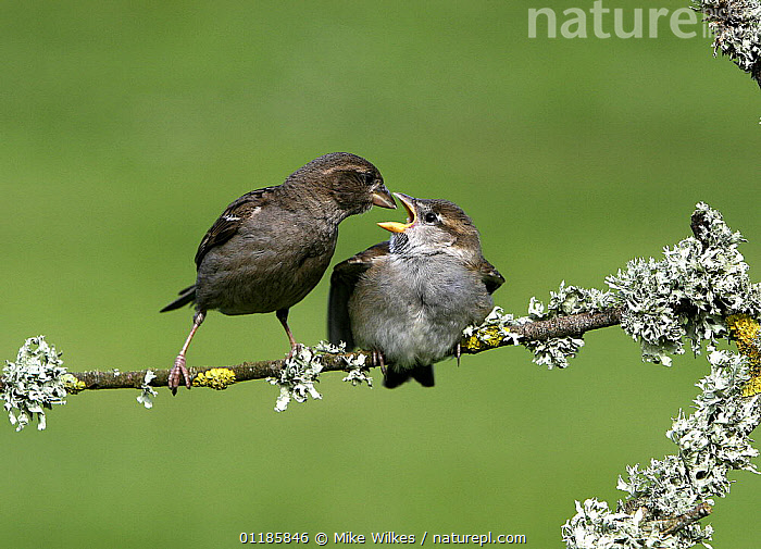 Common sparrow {Passer domesticus} feeding chick on branch, St Marys Isles of Scilly, UK  ,  BEHAVIOUR,BIRDS,EUROPE,FEEDING,PARENT,SPARROWS,UK,VERTEBRATES,YOUNG,United Kingdom,British  ,  Mike Wilkes