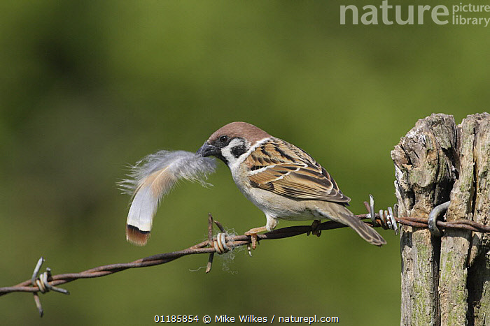 Tree sparrow {Passer montanus} perching on barbed wire with feather in beak, Warwickshire, UK  ,  BIRDS,EUROPE,FEATHERS,NESTING BEHAVIOUR,SPARROWS,UK,VERTEBRATES,United Kingdom,Reproduction,British  ,  Mike Wilkes