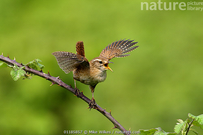 Wren {Troglodytes troglodytes} singing with wings outstretched, perching on bramble, Warwickshire, UK  ,  BEHAVIOUR,BIRDS,CALLING,EUROPE,FLAPPING,UK,VERTEBRATES,VOCALISATION,WINGS,WRENS,United Kingdom,British  ,  Mike Wilkes