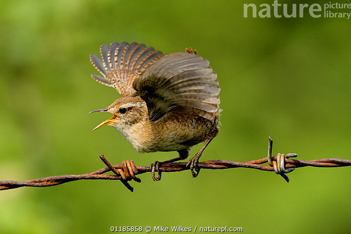 Wren {Troglodytes troglodytes} singing with wings outstretched, perching on barbed wire, Warwickshire, UK  ,  BEHAVIOUR,BIRDS,CALLING,EUROPE,PROFILE,UK,VERTEBRATES,VOCALISATION,WINGS,WRENS,United Kingdom,British  ,  Mike Wilkes