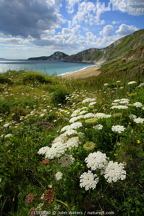 Wild Carrot {Daucus carota} in flower along coastline, Worbarrow Bay, Dorset, UK, 2007  ,  APIACEAE,COASTS,DICOTYLEDONS,FLOWERS,GRASSLAND,LANDSCAPES,PLANTS,UMBELLIFERAE,VERTICAL,Europe,United Kingdom,British,ENGLAND, United Kingdom, United Kingdom, United Kingdom, United Kingdom, United Kingdom, United Kingdom,,Dorset and East Devon Coast, UNESCO World Heritage Site,  ,  John Waters