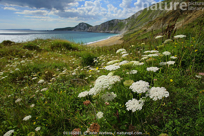 Wild Carrot {Daucus carota} in flower, along coastline, Worbarrow Bay, Dorset, UK, 2007  ,  APIACEAE,COASTS,DICOTYLEDONS,EUROPE,FLOWERS,GRASSLAND,LANDSCAPES,PLANTS,UK,UMBELLIFERAE,United Kingdom,British,,Dorset and East Devon Coast, UNESCO World Heritage Site,  ,  John Waters