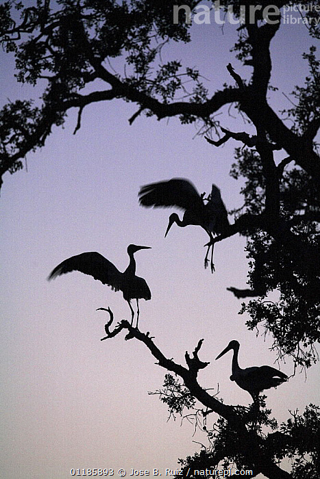 Silhouette of White storks (Ciconia ciconia) in tree at dawn, Donana NP, Spain  ,  BIRDS,EUROPE,FLYING,RESERVE,SILHOUETTES,SPAIN,STORK,STORKS,THREE,VERTEBRATES,VERTICAL  ,  Jose B. Ruiz