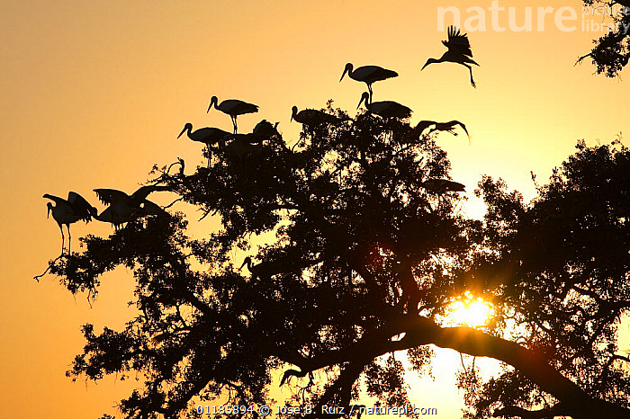 Silhouette of White storks (Ciconia ciconia) in tree at dawn, Donana NP, Spain  ,  BIRDS,EUROPE,FLOCKS,FLYING,RESERVE,SILHOUETTES,SPAIN,STORK,STORKS,SUNRISE,VERTEBRATES  ,  Jose B. Ruiz
