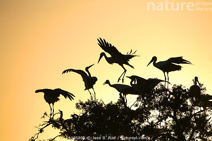 Silhouette of White storks (Ciconia ciconia) in tree at dawn, Donana NP, Spain  ,  BIRDS,EUROPE,FLOCKS,FLYING,RESERVE,ROOSTING,SILHOUETTES,SPAIN,STORK,STORKS,SUNRISE,VERTEBRATES,Catalogue1  ,  Jose B. Ruiz