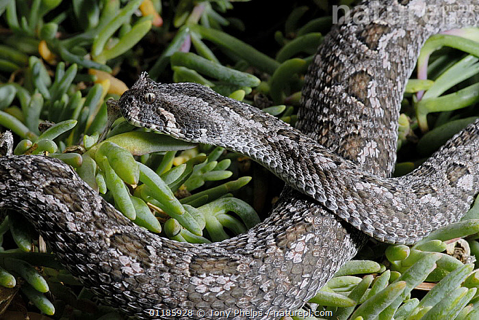 Female Southern Adder (Bitis armata) DeHoop Nature reserve, Western Cape, South Africa  ,  FEMALES,REPTILES,SNAKES,SOUTHERN AFRICA,VERTEBRATES,VIPERS, Adders  ,  Tony Phelps