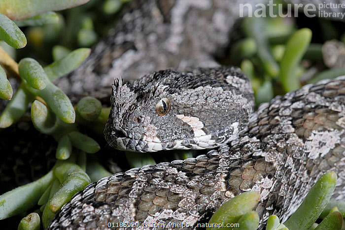 Female Southern Adder (Bitis armata) DeHoop Nature reserve, Western Cape, South Africa  ,  FEMALES,PORTRAITS,REPTILES,SNAKES,SOUTHERN AFRICA,VERTEBRATES,VIPERS, Adders  ,  Tony Phelps