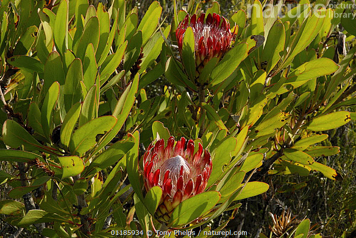 King Protea flowers {Protea cynaroides} DeHoop Nature resrve, Western Cape, South Africa.  ,  DICOTYLEDONS,PLANTS,PROTEACEAE,SOUTHERN AFRICA  ,  Tony Phelps