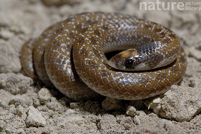 Shovel-snout Snake {Prosyma sundevalli} DeHoop Nature reserve, Western Cape, South Africa  ,  coil, coiled, COLUBRIDS, REPTILES, Snake, SNAKES, southern africa, VERTEBRATES  ,  Tony Phelps