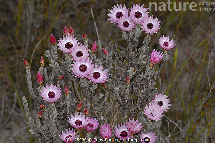Everlasting flowers {Syncarpha carascens} on Limestone fynbos, Dehoop Nature reserve, Western Cape, South Africa  ,  ASTERACEAE,DICOTYLEDONS,FLOWERS,PLANTS,SOUTHERN AFRICA  ,  Tony Phelps