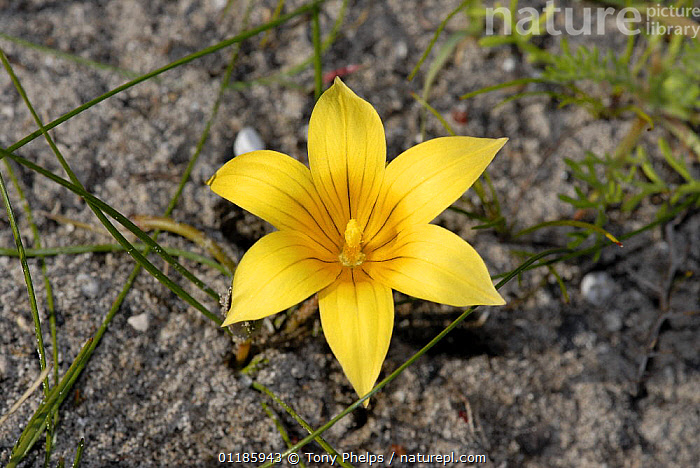 Yellow lily flower, DeHoop Nature reserve, Western Cape, South Africa.  ,  LILIACEAE,MONOCOTYLEDONS,PLANTS,PORTRAITS,SOUTHERN AFRICA  ,  Tony Phelps
