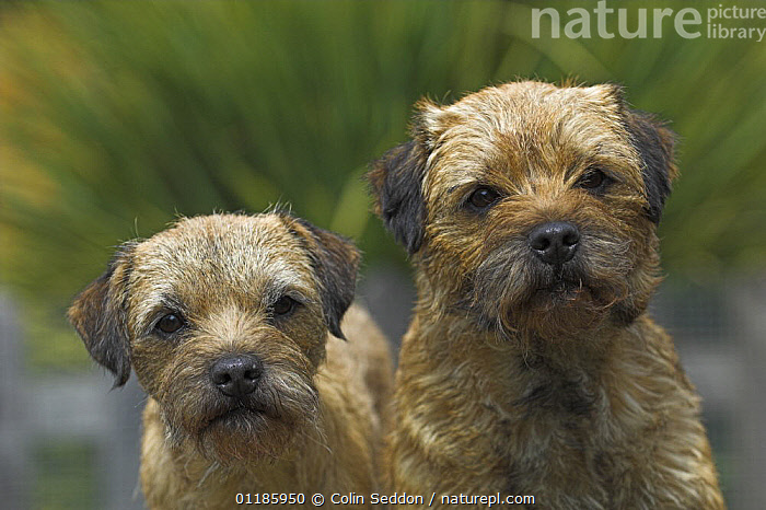 Border Terrier bitches, UK  ,  DOGS,EUROPE,FACES,PETS,PORTRAITS,Terrier,terriers,two,UK,VERTEBRATES,United Kingdom,British,Canids  ,  Colin Seddon