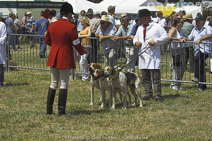 Welsh Foxhounds being inspected by judges during showing class, Wales, UK  ,  DOGS,EUROPE,hounds,HUNTING,PEOPLE,PETS,TRADITIONAL,UK,VERTEBRATES,United Kingdom,British,Canids  ,  Colin Seddon