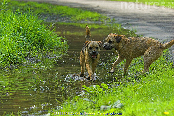 Border Terrier, 6-month puppies, playing in water, UK  ,  DOGS,EUROPE,Grass,outdoors,PETS,playing,Terrier,terriers,UK,VERTEBRATES,WATER,United Kingdom,Plants,British,Canids  ,  Colin Seddon