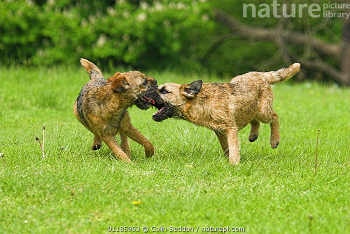 Border Terrier dogs, 6-month puppies, playing, UK  ,  BEHAVIOUR,DOGS,EUROPE,Grass,INTERACTION,outdoors,pedigree,PETS,playing,UK,VERTEBRATES,United Kingdom,Plants,British,Canids  ,  Colin Seddon