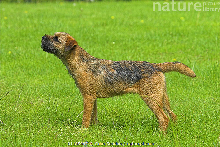 Border Terrier, 6-month puppy, UK  ,  DOGS,EUROPE,Grass,outdoors,PETS,PROFILE,Terrier,terriers,UK,VERTEBRATES,United Kingdom,Plants,British,Canids  ,  Colin Seddon