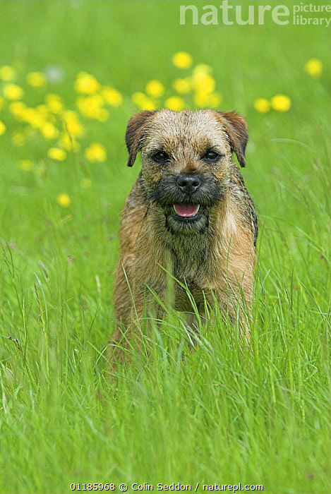 Border Terrier, 6-month puppy, portrait standing in grass, UK  ,  DOGS,EUROPE,Grass,outdoors,PETS,PORTRAITS,terriers,UK,VERTEBRATES,VERTICAL,United Kingdom,Plants,British,Canids  ,  Colin Seddon