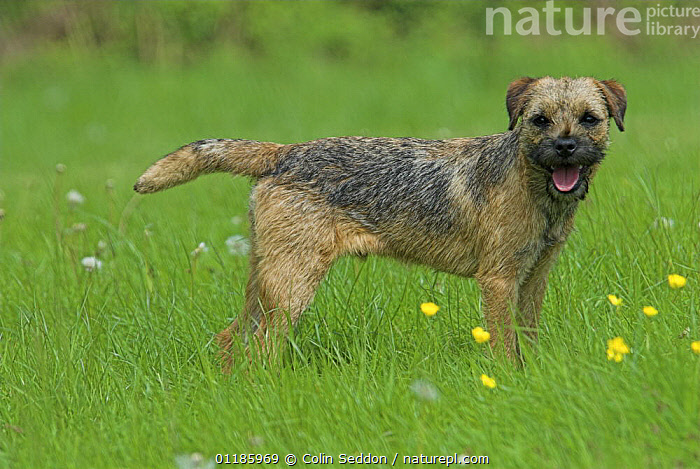Border Terrier, 6-month puppy, standing in grass, UK  ,  DOGS,EUROPE,Grass,outdoors,PETS,PORTRAITS,PROFILE,terriers,UK,VERTEBRATES,United Kingdom,Plants,British,Canids  ,  Colin Seddon