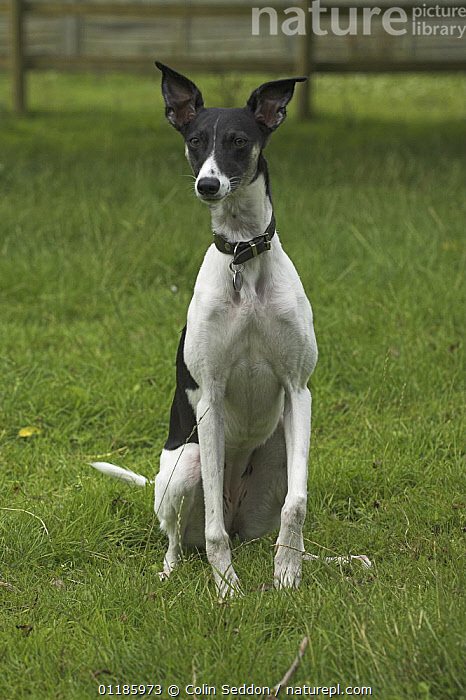 Whippet cross, sitting on grass, UK  ,  DOGS,EUROPE,hounds,mixed breed,outdoors,PETS,PORTRAITS,SITTING,UK,VERTEBRATES,VERTICAL,United Kingdom,British,Canids  ,  Colin Seddon