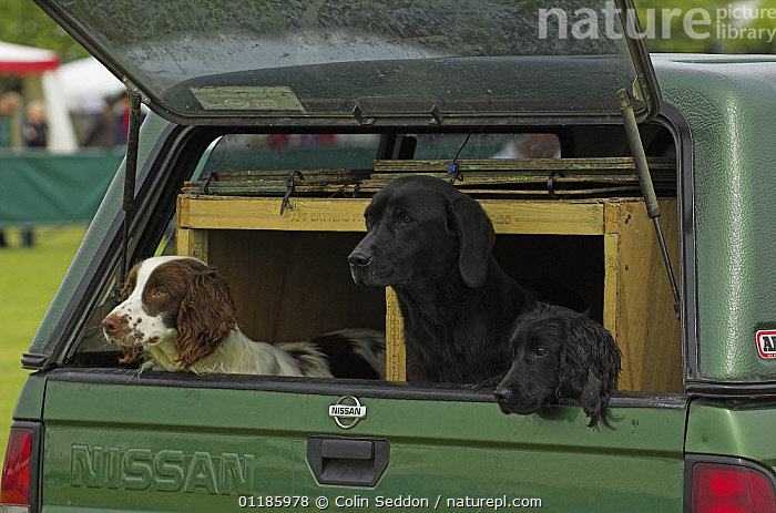 Gundogs (Springer Spaniel, Labrador and Cocker Spaniel) looking out the back of a car, UK  ,  DOGS,EUROPE,gundogs,mixed breeds,PETS,THREE,UK,VEHICLES,VERTEBRATES,United Kingdom,British,Canids  ,  Colin Seddon