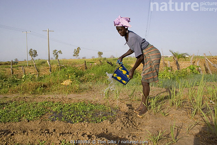 Woman watering her vegetable plot, Bakau rice fields, Gambia 2007  ,  AFRICA,AGRICULTURE,CROPS,FARMLAND,PEOPLE,PROFILE,WATER,WEST AFRICA,WOMEN,WEST-AFRICA  ,  Tom Gilks