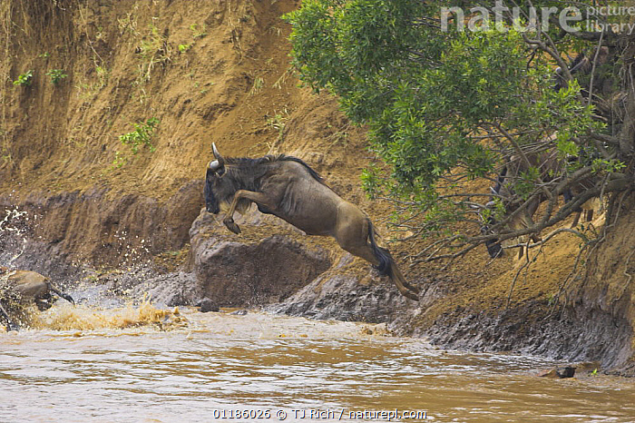 Common wildebeest (Connochaetes taurinus) jumping into  Mara river during annual migration,