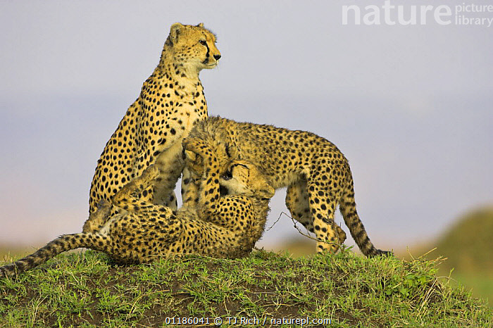 Cheetah (Acionyx jubatus) mother and juveniles playing, Masai Mara Reserve, Kenya  ,  BEHAVIOUR,BIG CATS,CARNIVORES,CHEETAHS,EAST AFRICA,FEMALES,JUVENILE,MAMMALS,PARENTAL,play,RESERVE,SAVANNA,SOCIAL BEHAVIOUR,VERTEBRATES,Africa,Grassland,Communication  ,  TJ Rich