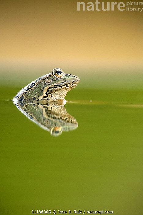 Marsh frog (Rana ridibunda perezii) reflected at water surface, Spain  ,  AMPHIBIANS, EUROPE, FRESHWATER, FROGS, HUMOROUS, PORTRAITS, profiles, SPAIN, VERTEBRATES, VERTICAL, WATER,Concepts,Anura  ,  Jose B. Ruiz