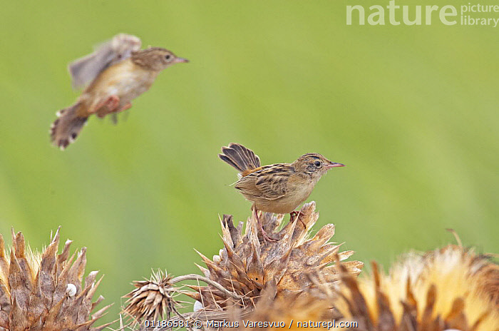 Fan-Tailed Warbler (Cisticola juncidis) feeding on flower seeds, Spain, September  ,  BEHAVIOUR,BIRDS,EUROPE,FEEDING,SPAIN,VERTEBRATES,WARBLERS  ,  Markus Varesvuo