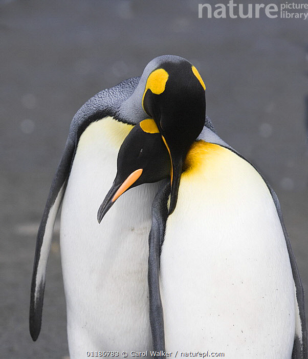 Mating pair of King Penguins (Aptenodytes patagonicus) on Gold Beach, South Georgia Island, Sub Antarctica., AFFECTIONATE,ARTY SHOTS,BIRDS,COURTSHIP,FLIGHTLESS,MALE FEMALE PAIR,MATING BEHAVIOUR,PENGUINS,PORTRAITS,SEABIRDS,SUB ANTARCTICA,VERTEBRATES,VERTICAL,concepts,Reproduction, Seabirds, Carol Walker