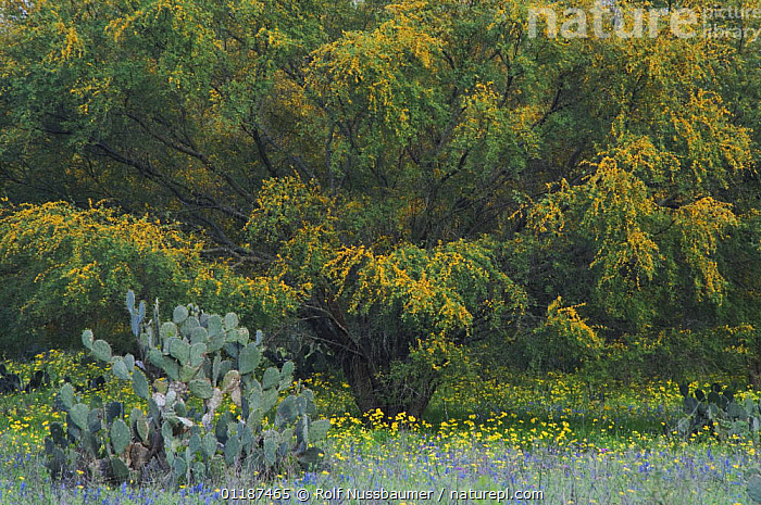 Nature Picture Library Wildflower Field With Texas Prickly Pear