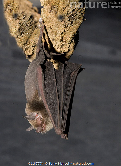 Naked backed Bat (Pteronotus davyi) hanging from rock, Neuvo Leon, Mexico  ,  BATS,central america,CHIROPTERA,MAMMALS,MEXICO,PORTRAITS,resting,roost,roosting,VERTEBRATES,VERTICAL  ,  Barry Mansell