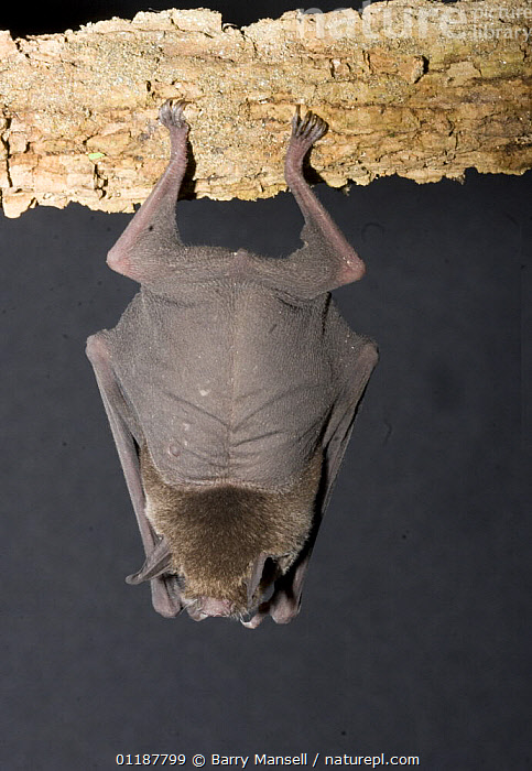 Naked Backed Bat (Pteronotus davyi) roosting, Nuevo Leon, Mexico  ,  backs,BATS,CAVES,CENTRAL AMERICA,CHIROPTERA,MAMMALS,SKIN,VERTEBRATES,VERTICAL  ,  Barry Mansell