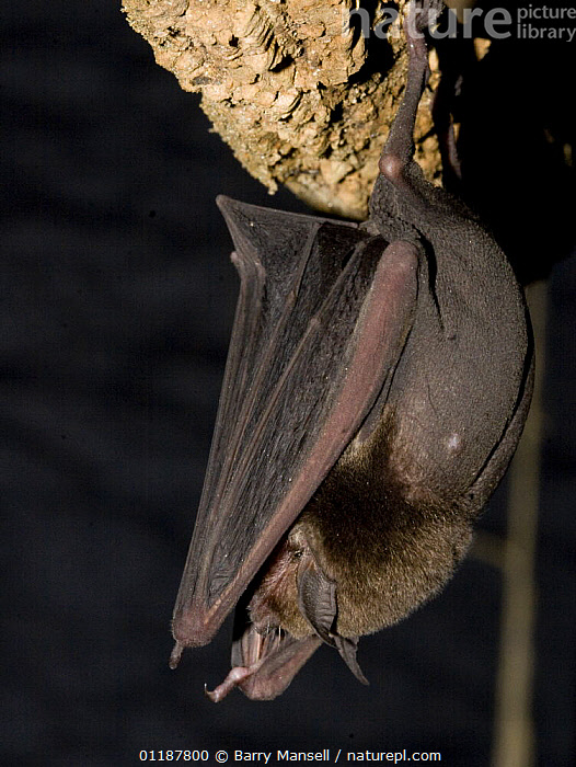 Naked Backed Bat (Pteronotus davyi) roosting, Nuevo Leon, Mexico  ,  BATS,CAVES,CENTRAL AMERICA,CHIROPTERA,MAMMALS,PORTRAITS,PROFILE,VERTEBRATES,VERTICAL  ,  Barry Mansell