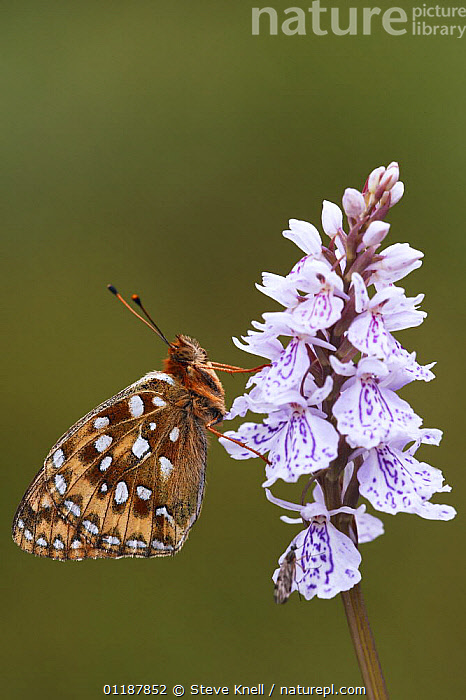 Dark green fritillary butterfly (Argynnis aglaja) on a spotted orchid flower, UK  ,  ARTHROPODS,BUTTERFLIES,CUTOUT,EUROPE,FLOWERS,INSECTS,INVERTEBRATES,LEPIDOPTERA,Orchid,ORCHIDACEAE,ORCHIDAECEAE ,PORTRAITS,PROFILE,UK,VERTICAL,United Kingdom,British  ,  Steve Knell