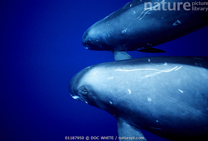 Pygmy Killer Whales (Feresa attenuata) with scarring / markings on skin, Pacific  ,  CETACEANS,DOLPHINS,MAMMALS,MARINE,PACIFIC,SCARS,TWO,UNDERWATER,VERTEBRATES,Catalogue1  ,  DOC WHITE
