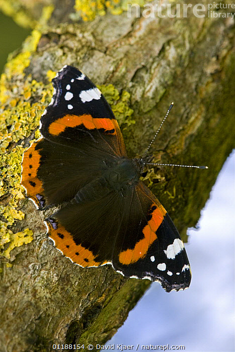 Red Admiral (Vanessa atalanta) butterfly on lichen covered branch, Wiltshire, England  ,  ARTHROPODS,BUTTERFLIES,EUROPE,INSECTS,INVERTEBRATES,LEPIDOPTERA,PORTRAITS,UK,VERTICAL,United Kingdom,British  ,  David Kjaer