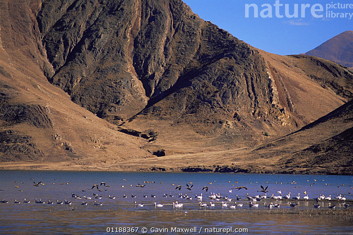 Bar headed geese (Anser indicus) on water, Yarlung Valley, Tibet 2007 2007  ,  ASIA,BIRDS,CHINA,FLYING,GEESE,GEOLOGY,HIMALAYAS,LANDSCAPES,MOUNTAINS,RIVERS,VERTEBRATES,WATER,WATERFOWL,Wildfowl, waterfowl  ,  Gavin Maxwell