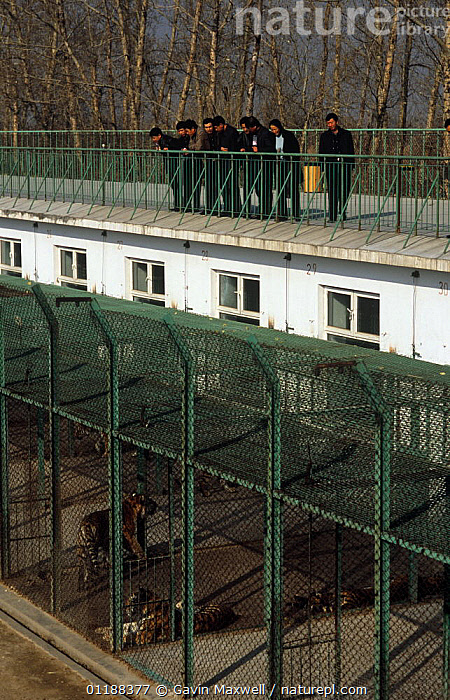 Tourists view Siberian Tigers (Panthera tigris altaica) in their enclosures, Siberian Tiger Farm, Harbin, NE China  ,  BIG CATS,BUILDINGS,CAGES,CAPTIVE,CARNIVORES,ENDANGERED,GROUPS,MAMMALS,TIGERS,TOURISM,VERTICAL,ZOOS  ,  Gavin Maxwell