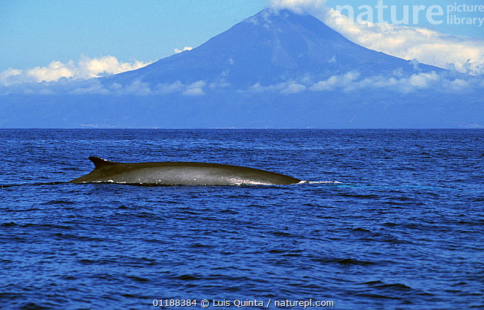 Fin whale {Balaenoptera physalus} at surface with Pico island in background, Azores  ,  ATLANTIC,AZORES,LANDSCAPES,MARINE,MOUNTAINS,PORTUGAL,WHALE,Europe,,Baleen whale,  ,  Luis Quinta