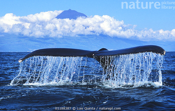 Humpback whale {Megaptera novaeangliae} tail fluke, with Pico Island in background, Azores.  ,  CETACEANS,DIVING,MAMMALS,MARINE,SURFACE,TAILS,VERTEBRATES,WHALES  ,  Luis Quinta