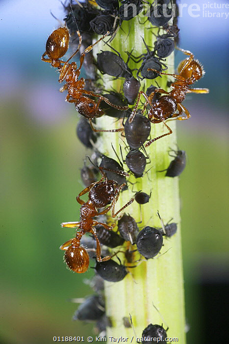 Red Ants (Myrmica rubra) collecting honeydew from Aphids on stem of Dock plant (Rumex sp) Surrey, UK  ,  ANT,ANTS,APHID FARM,ARTHROPODS,BEHAVIOUR,EUROPE,HYMENOPTERA,INSECTS,INVERTEBRATES,MILKING,MIXED SPECIES,SYMBIOSIS,UK,VERTICAL,United Kingdom,Concepts,Partnership,British  ,  Kim Taylor