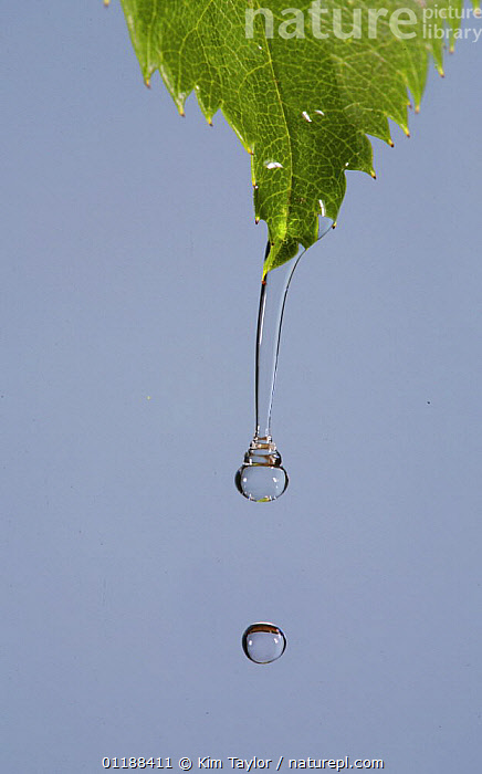 Water dripping from a Rose leaf, digital composite, UK  ,  ARTY,DROPLETS,DROPS,LEAVES,RAIN,UK,VERTICAL,Europe,United Kingdom,Weather,British  ,  Kim Taylor