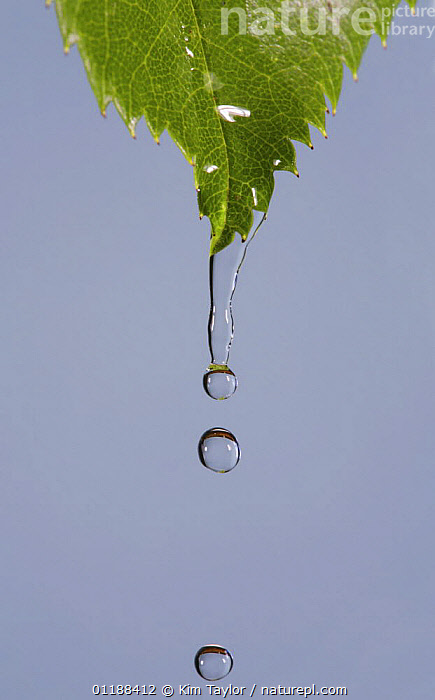 Water dripping from a Rose leaf,  UK  ,  arty,Droplets,drops,LEAVES,RAIN,UK,VERTICAL,Europe,United Kingdom,Weather,British  ,  Kim Taylor