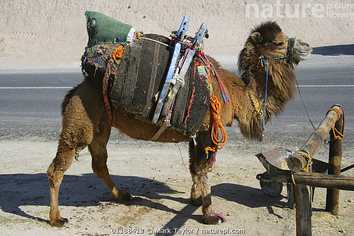 Kapadokian camel tethered beside road, Turkey.  ,  ASIA,CAMELS,DOMESTIC,MIDDLE EAST,PERISSODACTYLA,PROFILE,TRADITIONAL,TURKEY,WORKING,MIDDLE-EAST  ,  Mark Taylor