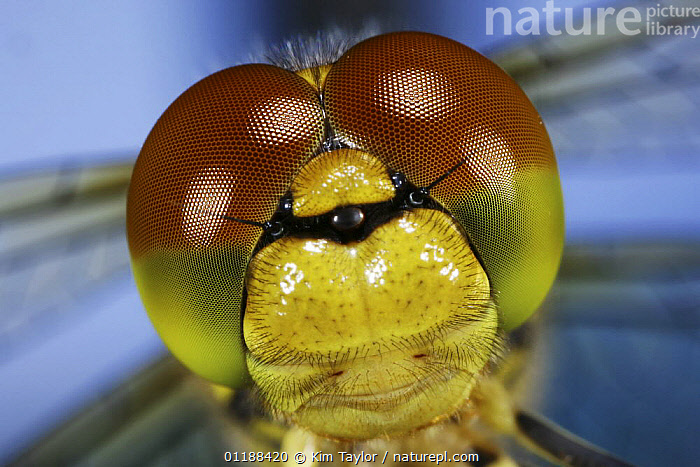 Close up of eyes of Common Darter Dragonfly (Sympetrum striolatum) newly emerged adult, Surrey, UK  ,  ARTHROPODS,CLOSE UPS,DRAGONFLIES,EUROPE,FACES,INSECTS,INVERTEBRATES,MOUTHPARTS,ODONATA,PORTRAITS,UK,United Kingdom,British, United Kingdom, United Kingdom, United Kingdom,Catalogue1  ,  Kim Taylor